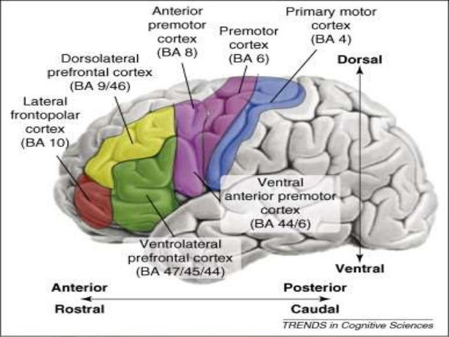 The Motor Cortex Is Located In The Lobes Impremedia Net
