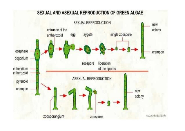 Algae asexual reproduction model