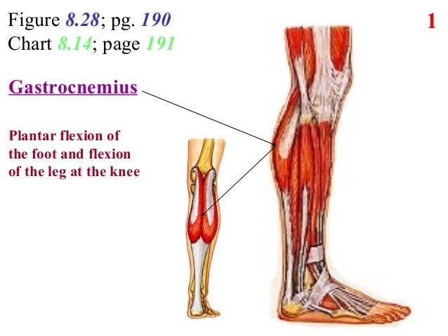 8  Lower Leg