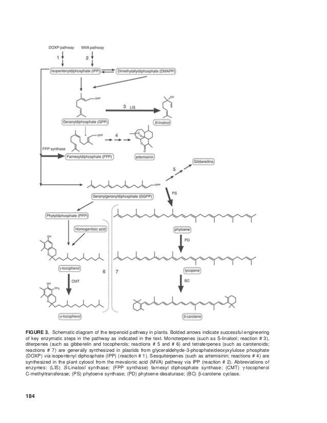 FIGURE 3. Schematic diagram of the terpenoid pathway in plants. Bolded arrows indicate successful engineeringof key enzyma...