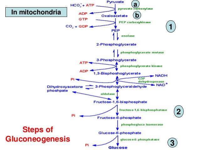 Gluconeogenesis Glycerol   Ak74