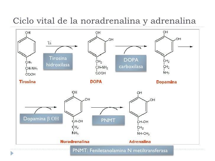 Ciclo vital de la noradrenalina y adrenalina Tirosina hidroxilasa DOPA carboxilasa Dopamina  β  OH PNMT PNMT: Feniletanola...