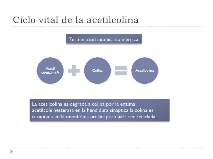 Ciclo vital de la acetilcolina Terminación axónica colinérgica La acetilcolina es degrada a colina por la enzima acetilcol...