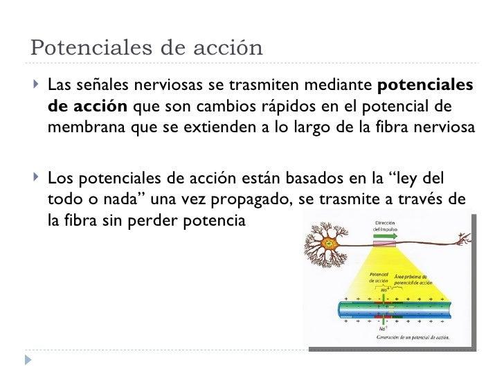 Potenciales de acción <ul><li>Las señales nerviosas se trasmiten mediante  potenciales de acción  que son cambios rápidos ...