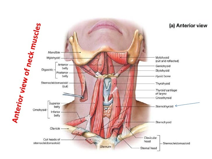 Diagram Of The Anterior Neck Muscles - Auto Wiring Diagram Today •
