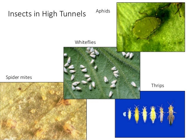 Understanding spider mites and other high tunnel insects, 2015