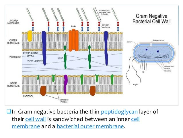 Cell wall in gram positive bacteria the thick peptidoglycan layer in the cell wall that encases their cell membrane 10 ccuart Image collections