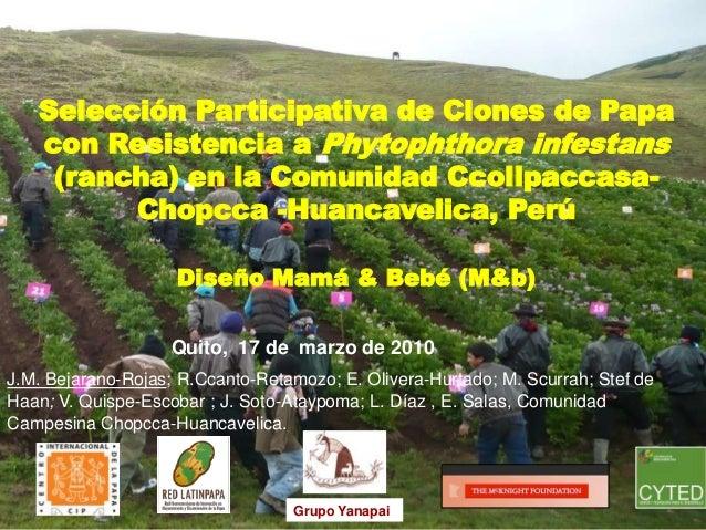 Selección Participativa de Clones de Papa con Resistencia a Phytophthora infestans (rancha) en la Comunidad Ccollpaccasa- ...