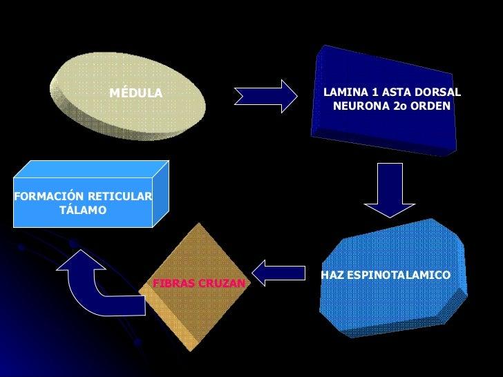MÉDULA LAMINA 1 ASTA DORSAL NEURONA 2o ORDEN HAZ ESPINOTALAMICO FIBRAS CRUZAN FORMACIÓN RETICULAR TÁLAMO