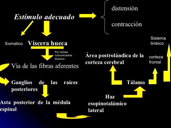 cortezafrontal Sistema limbico Somatico Por ramas comunicantes blancos Estímulo adecuado distensión contracción Víscera hu...