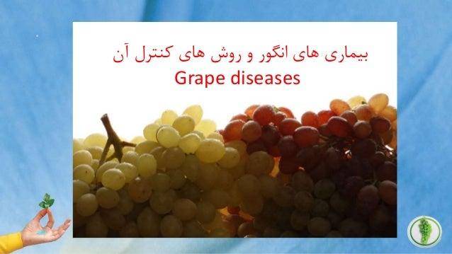 . آن کنترل های روش و انگور های بیماری Grape diseases