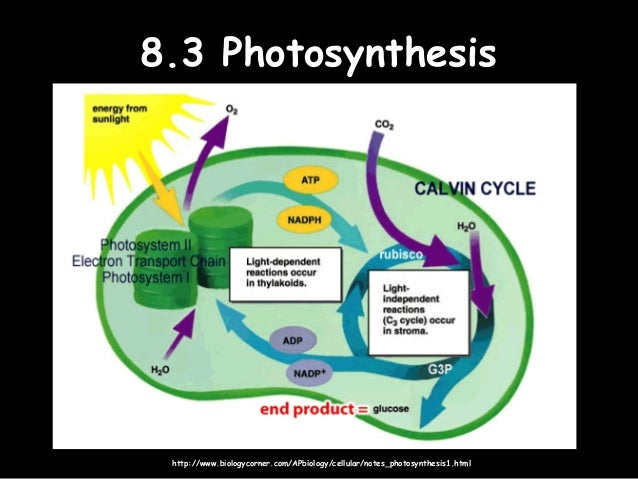 8 metabolism cell respiration photosynthesis syllabus statements 16 83 photosynthesis83 photosynthesis ccuart Gallery
