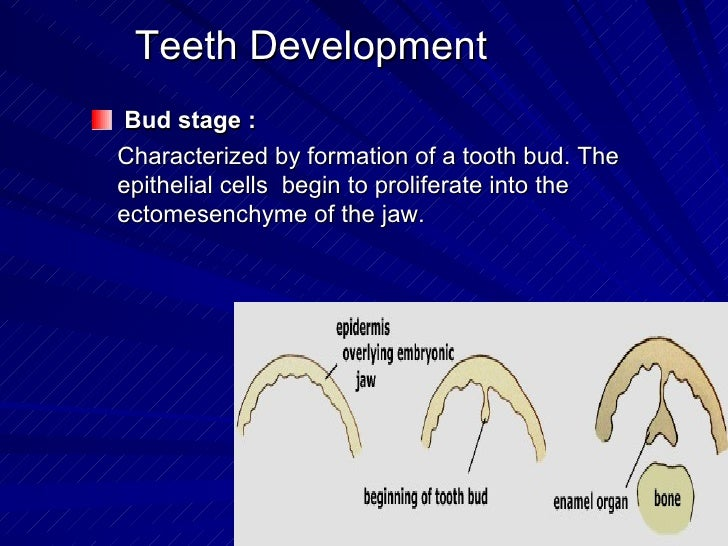 Teeth Development <ul><li>Bud stage : </li></ul><ul><li>Characterized by formation of a tooth bud. The epithelial cells  b...