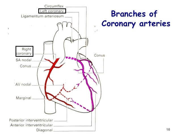 Anatomy of blood supply of heart