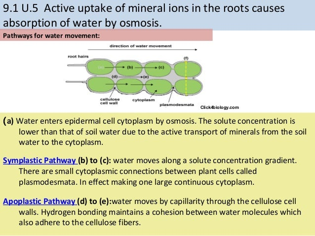 absorption of water and minerals by roots