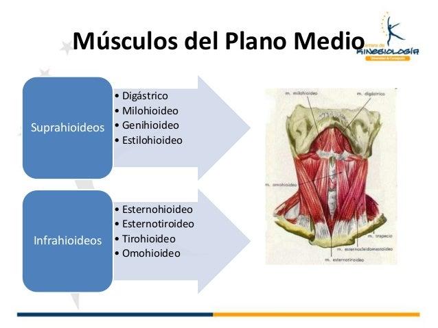 9 generalidades miologia for Esternohioideo y esternotiroideo