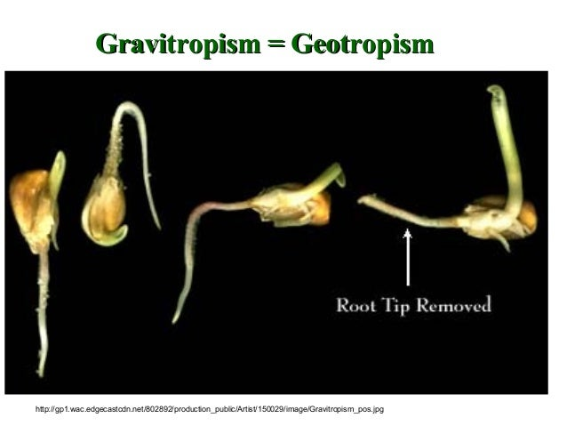 auxin gravitropism affects the growth of roots biology essay A similar way to how auxin functions in root gravitropism  for differential growth in gravistimulated roots (swarup etal,  we examined the effects of auxin.