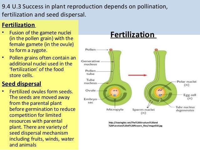relationship between gamete zygote fertilization calendar