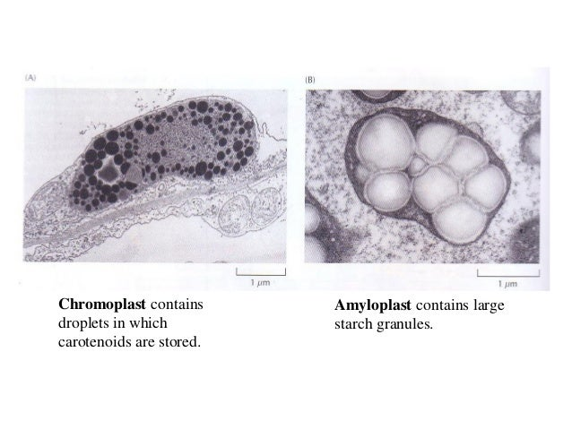 light induced transformation of amyloplasts into chloroplasts Sure to light, the amyloplastsare transformed into chloroplasts, whichhave a differentfunctionthe changes in ultrastructureof potato tuber amyloplasts during greening were investigated by.