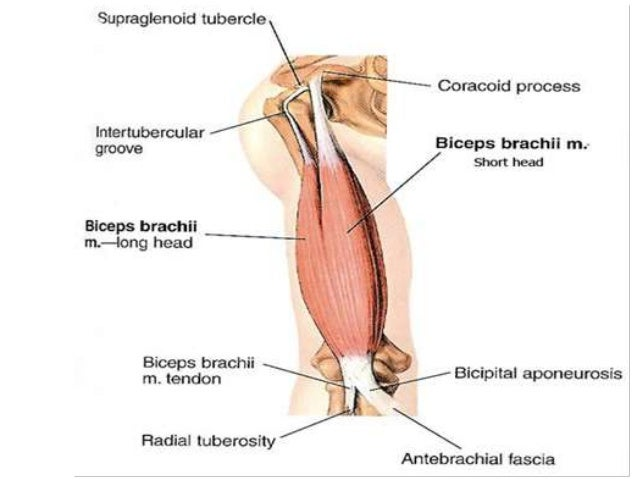 Anatomy of anterior compartment of arm
