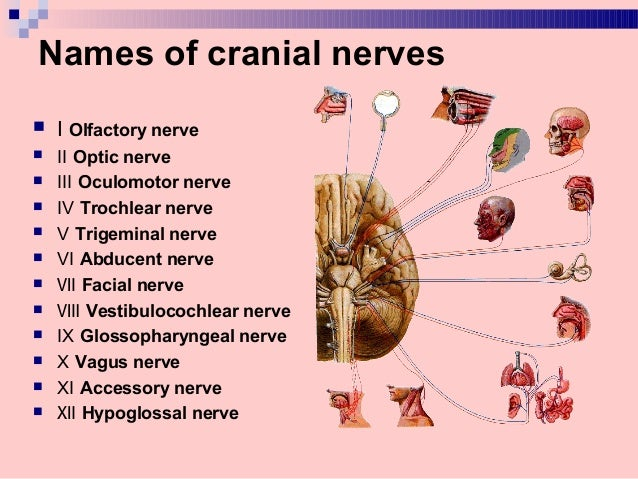 peripheral nervous system  cranial nerves  u2013 part 1