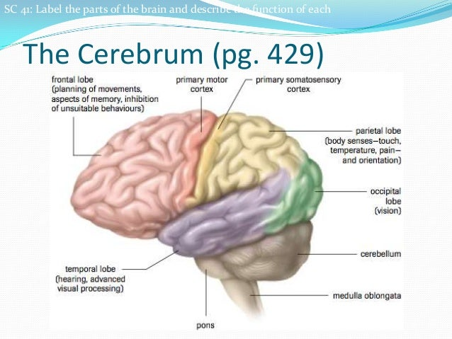 9.3 the brain