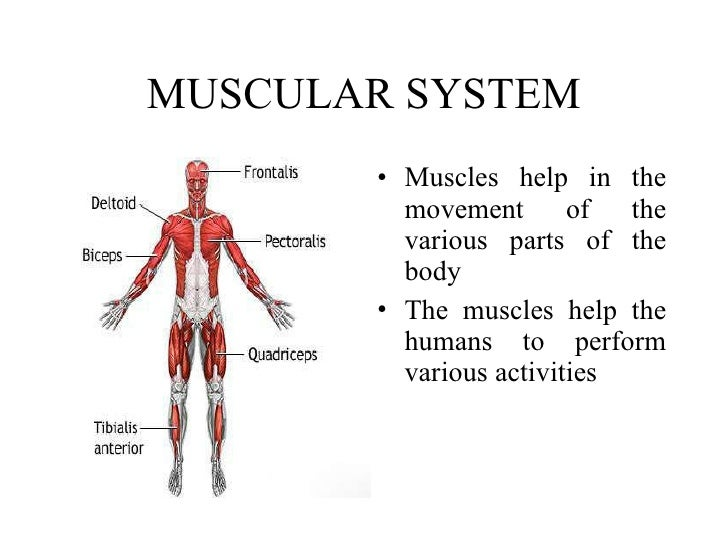 Parts Of The Muscular System 20