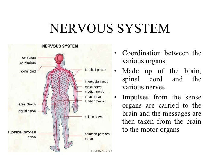 9 human body nervous system ccuart Images
