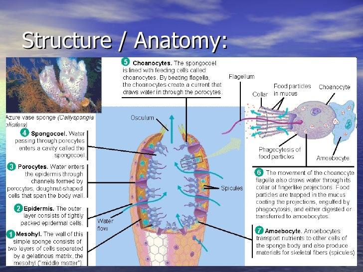 9 Phylum Porifera Notes