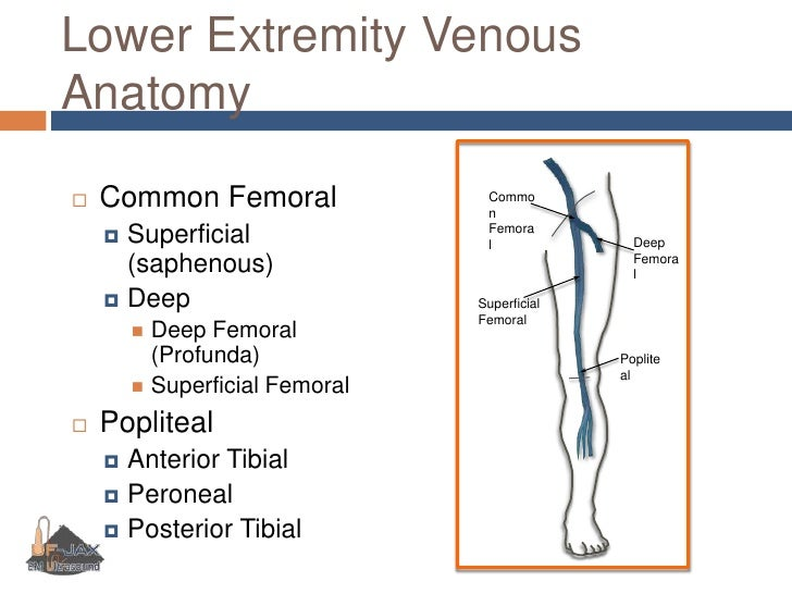 Superficial Femoral Vein Anatomy