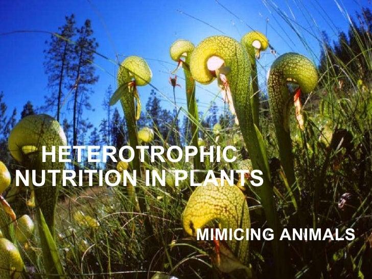 HETEROTROPHIC NUTRITION IN PLANTS MIMICING ANIMALS