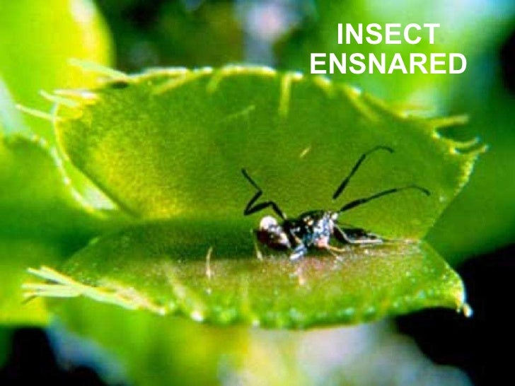 INSECT ENSNARED