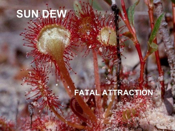 SUN DEW FATAL ATTRACTION
