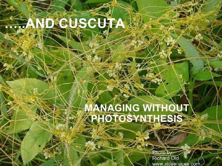 … ..AND CUSCUTA MANAGING WITHOUT PHOTOSYNTHESIS