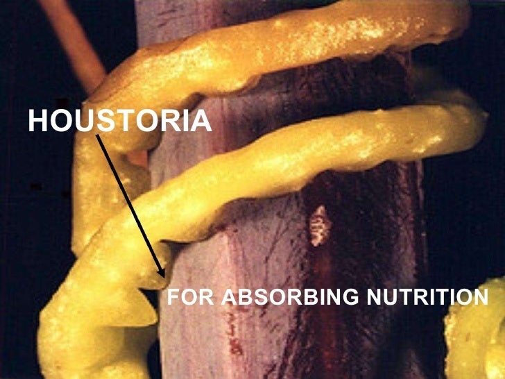 HOUSTORIA FOR ABSORBING NUTRITION