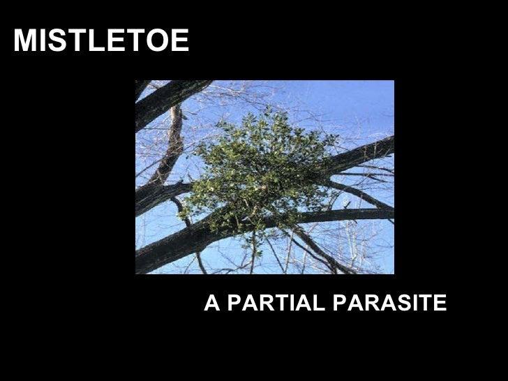 MISTLETOE  A PARTIAL PARASITE