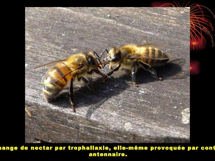 Les abeilles piquent plus souvent les personnes violentes ( en gestes oparoles)
