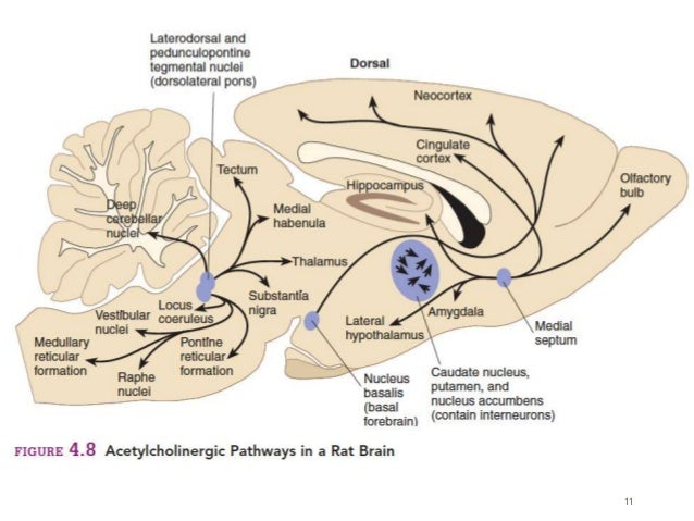 BIOSYNTHESIS OF ACETYLCHOLINE IN CNS AND CHOLINERGIC TRANSMISSION