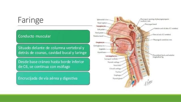 Anatomia y fisiología de faringe y laringe