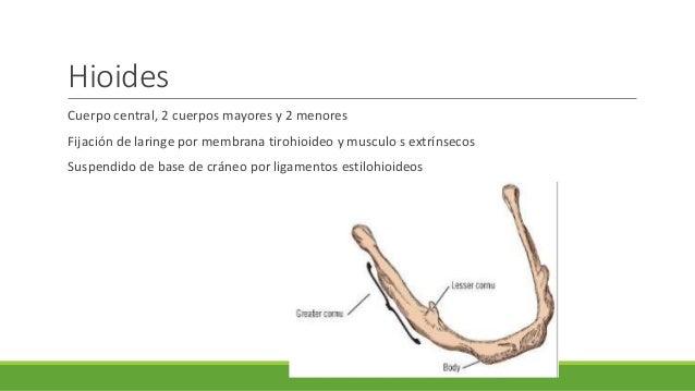 Anatomia Y Fisiolog A De Faringe Y Laringe