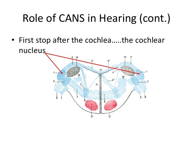 Cans diagram auditory system electrical work wiring diagram hearing it s more than you think rh slideshare net auditory nervous system damaged ear diagram ccuart Images