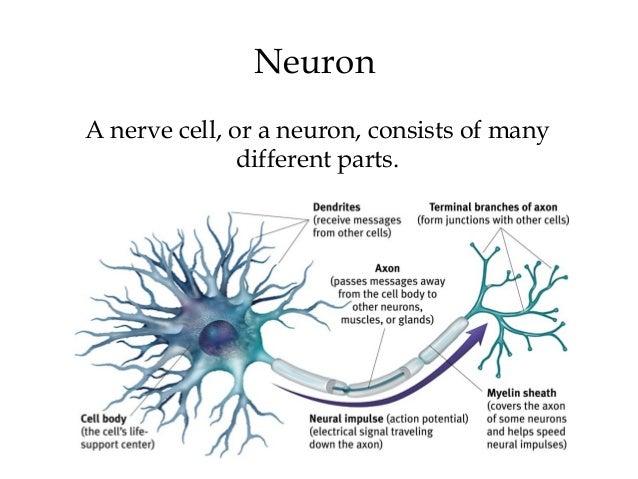 Chapter 2 myers psychology 9e neuron ccuart Images