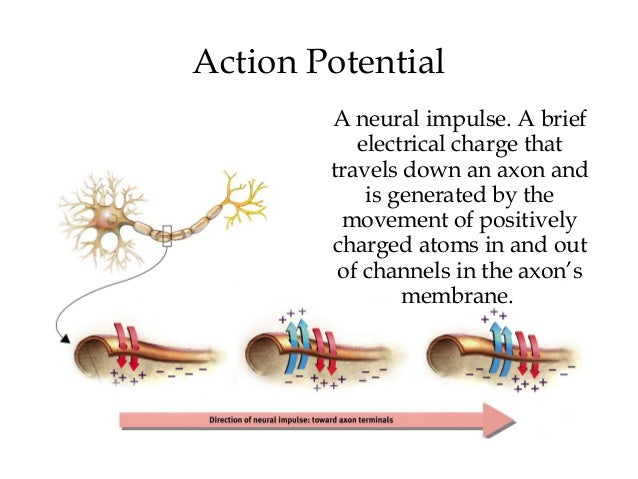 2 what is happening to the electrical potential of a neuron when it generates an action potential The nervous system: the action potential what areas of the neuron generate signals that open these voltage-gated what electrical potential will be.