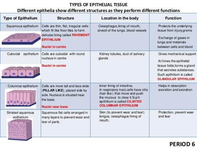 Epithelium 57539478 besides E5 89 AF E5 97 85 E8 A6 9A E5 99 A8 moreover 9 Tissues Ppt 51184069 also Index additionally 6059223. on 5 epithelium sp
