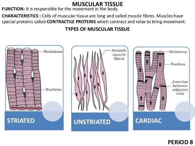 9 tissues ppt muscular ccuart Image collections