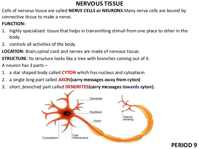 nervous tissue function Nervous system anatomy nervous tissue the majority of the nervous system is tissue each of the 12 cranial nerves has a specific function within the nervous system.