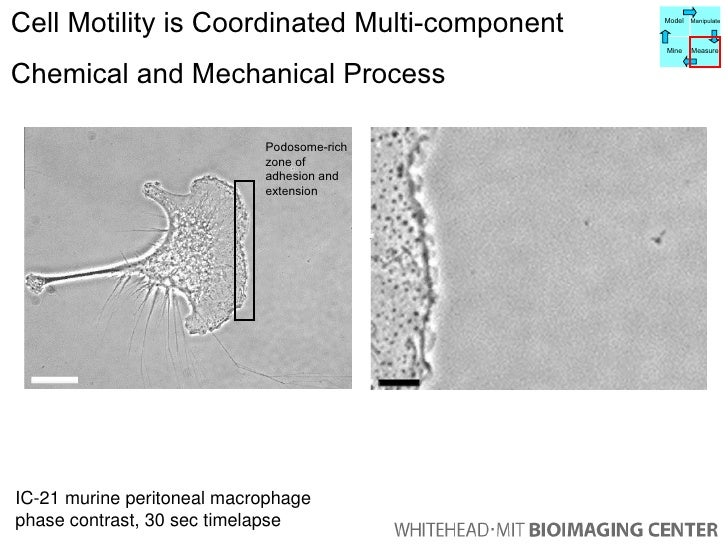 Cell Motility is Coordinated Multi-component  Chemical and Mechanical Process IC-21 murine peritoneal macrophage phase con...