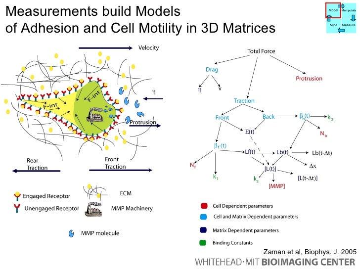 Measurements build Models  of Adhesion and Cell Motility in 3D Matrices Mhz slide Zaman et al, Biophys. J. 2005 Model Mani...
