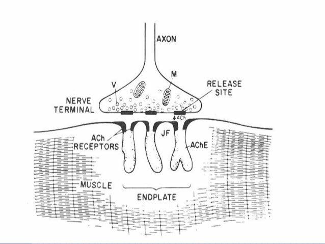 Autonomic nervous system lecture 3