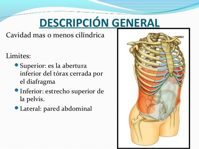 Anatomía Del Abdomen Músculos Irrigación E Inervación